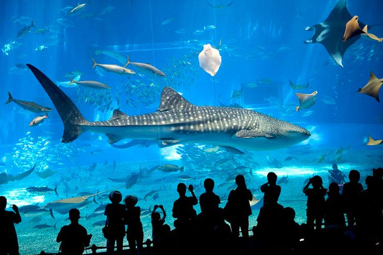 Gente observando al tiburón en el acuario de Okinawa Churaumi (Japón)