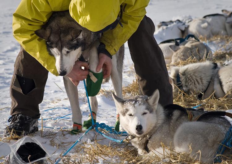 Perros Huskys en la nieve
