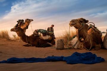 Camellos tunecinos