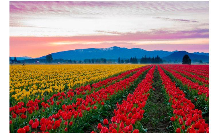 Tulipanes de colores amarillos y rojos