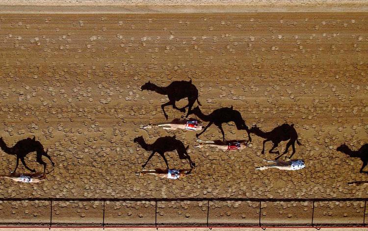Carrera de camellos en Emiratos Árabes Unidos