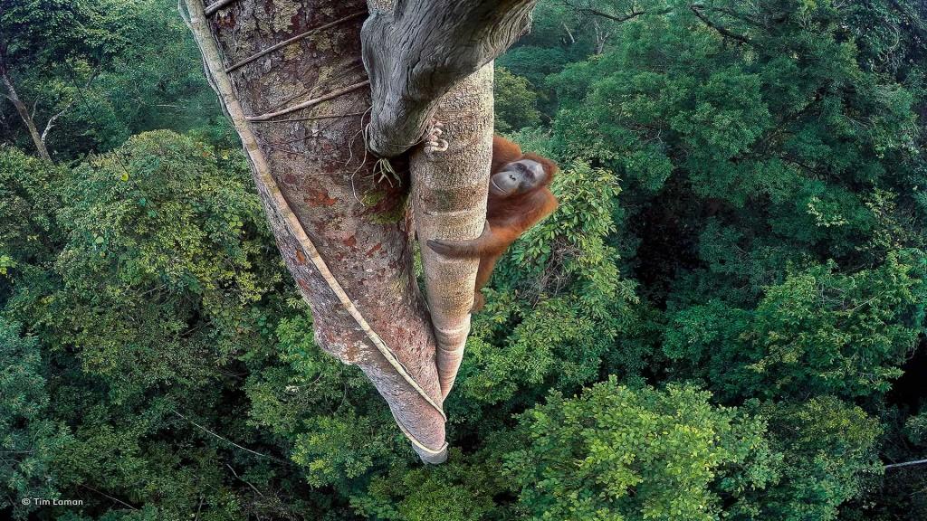 Orangután trepando por un árbol