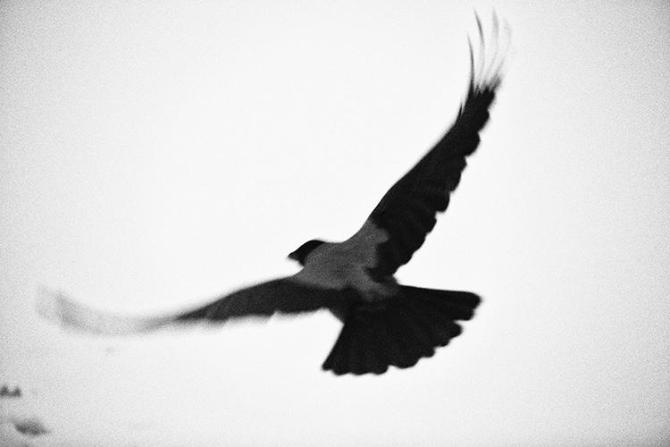 pájaro en Letonia