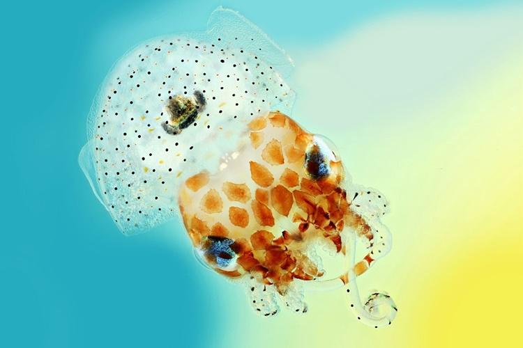 Calamar Hawaiano- fotografía científica
