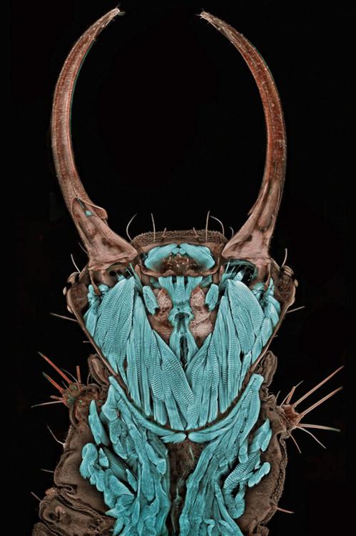 larva a través de microscopio