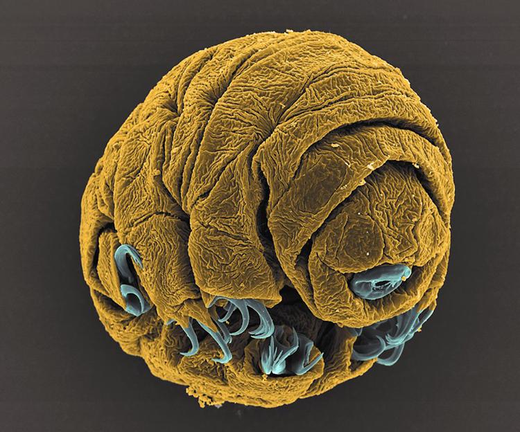 Embrión de oso de agua